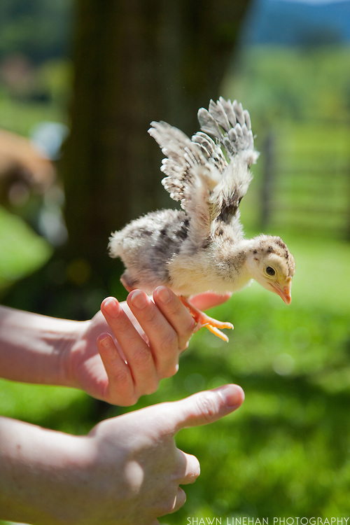 A turkey chick