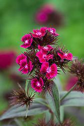 Dianthus barbatus 'Oeschberg' - sweet william