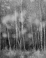 Silver birch treees starting to lose their leaves as autumn gets into its stride, with leaves of another silver birch in the foreground. Photograph by Andrew Tobin/Tobinators Ltd