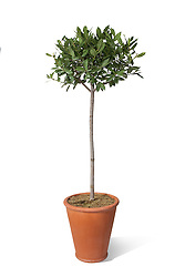 Tree in pot