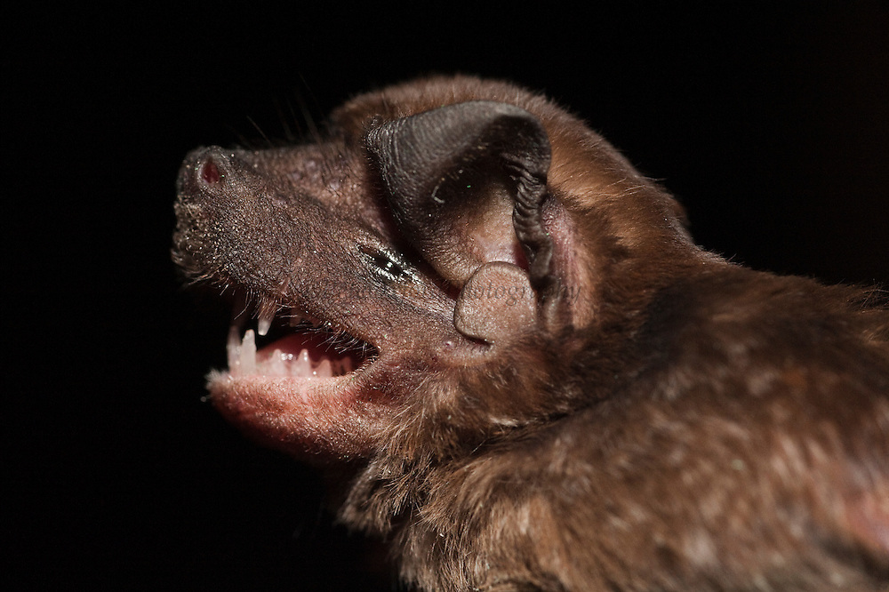 Mastiff Bat (Molossus molossus) CAPTIVE<br /> Karanambu Lodge<br /> Rupununi<br /> GUYANA<br /> South America