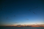 Geese practising their migrating skills agains the dark sky ahead of migrating North at the end of the summer in Landskrona, Sweden, 27th of August 2016.