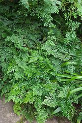 Adiantum venustum AGM. Evergreen maidenhair fern