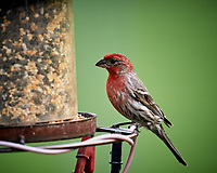 Male House Finch. Image taken with a Nikon D5 camera and 600 mm f/4 VR lens (ISO 1600, 600 mm, f/4, 1/1000 sec).