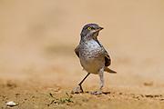 Barred Wrabler (Sylvia nisoria) near the water, negev desert, israel