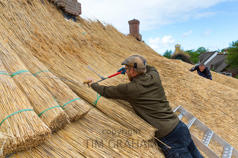 Thatchers thatching new roof traditional method with stooks of reeds/rushes on thatched cottage at Fano Island, Denmark