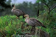 "endemic Hawaiian goose or "" nene "" <br /> Nesochen sandvicensis ( endangered )<br /> Hawaii, USA Volcanoes National Park<br /> Big Island of Hawaii, USA"