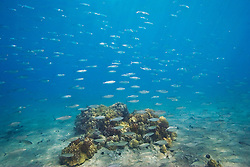 Large school of Bigeye Scad or Akule in Hawaiian, Selar crumenophthalmus, swimming over coral reef, Keauhou Bay, off Kona Coast, Big Island, Hawaii, Pacific Ocean.