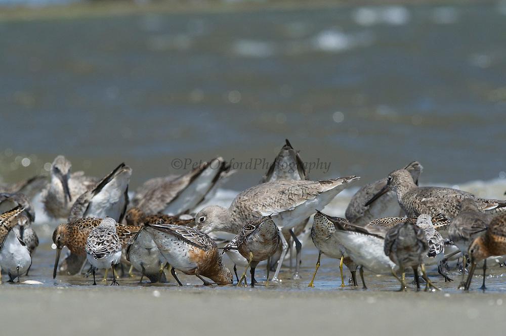 Mixed species of waders feeding on horseshoe crab eggs<br /> Little St Simon's Island, Barrier Islands, Georgia<br /> USA<br /> HABITAT & RANGE: