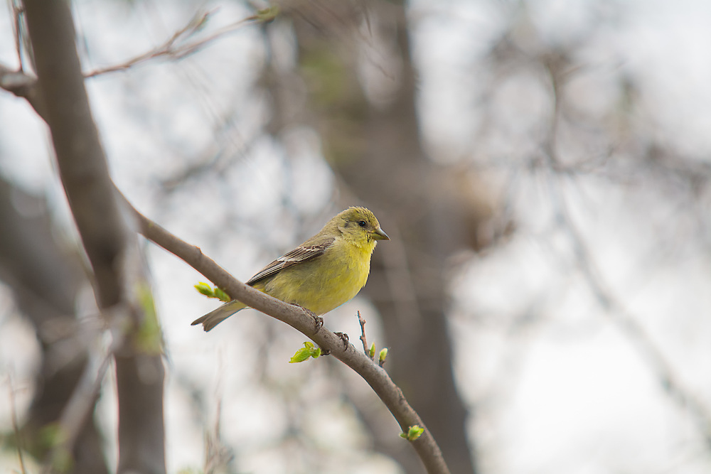 A female lesser goldfinch rests in a tree in Cochise County in southeastern Arizona. Smallest of the goldfinches, this attractive yellow finch was photographed near the San Pedro River near Sierra Vista on a stormy springtime afternoon.