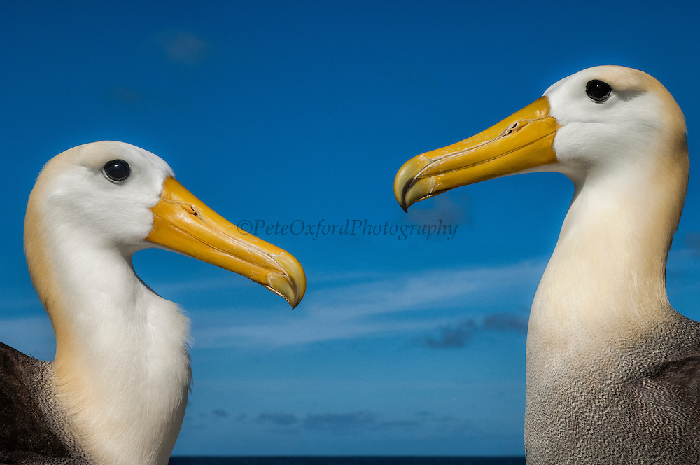 Waved Albatross (Phoebastria irrorata) Courtship<br /> Punta Cevallos, Española Island, GALAPAGOS ISLANDS<br /> ECUADOR.  South America<br /> ENDEMIC TO GALAPAGOS. <br /> CRITICALLY ENDANGERED<br /> However a few pairs nest on Isla de la Plata near the Ecuadorian mainland. +-12,000 pairs breed on the Island of Española in Galapagos. They only come ashore between April and December to breed, otherwise they spend their entire life at sea. Once an albatross chick fledges and goes to sea it will remain there until it is 4 years old before returning to land to breed for the first time. Albatross mate for life and live about 40 years. They form part of the family of tube-nosed birds.