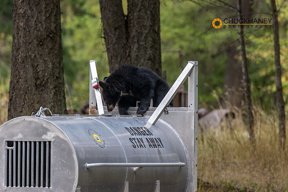 Black bear cub on bear trap with mother inside in Whitefish, Montana, USA