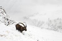 31.10.2008.Alpine Ibex (Capra ibex)..Gran Paradiso National Park, Italy