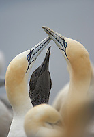 Gannet (Morus bassanus) family, Bass Rock, Firth of Forth, Scotland