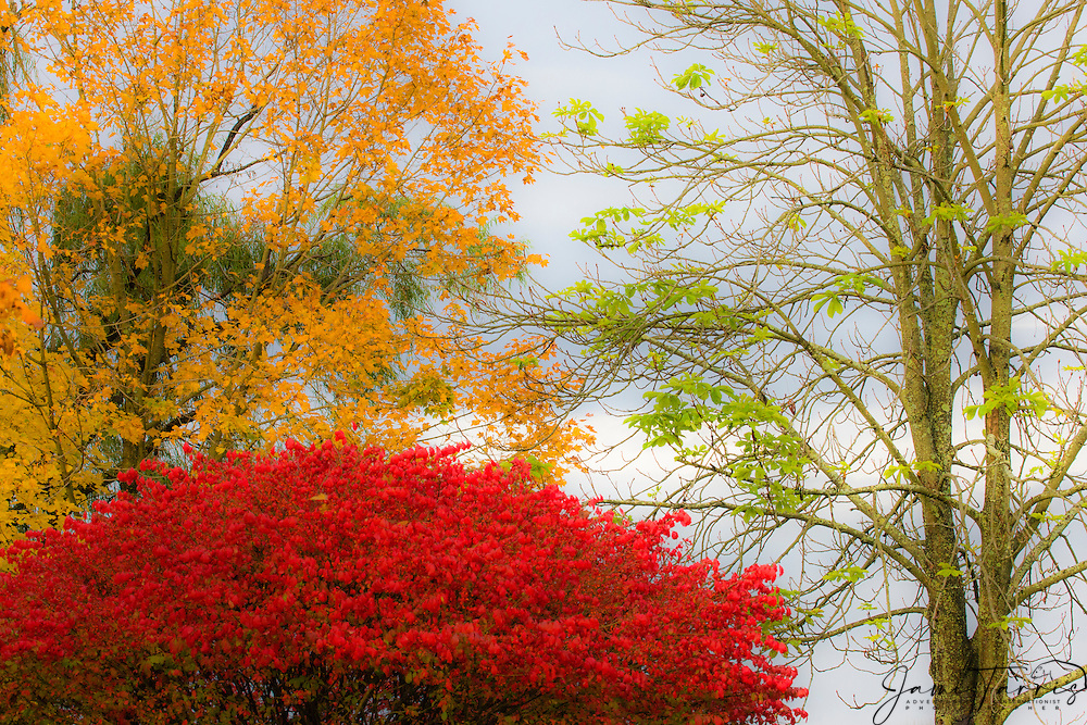 Three different trees showing variation in color of autumn leaves, New Hope, Pennsylvania, USA