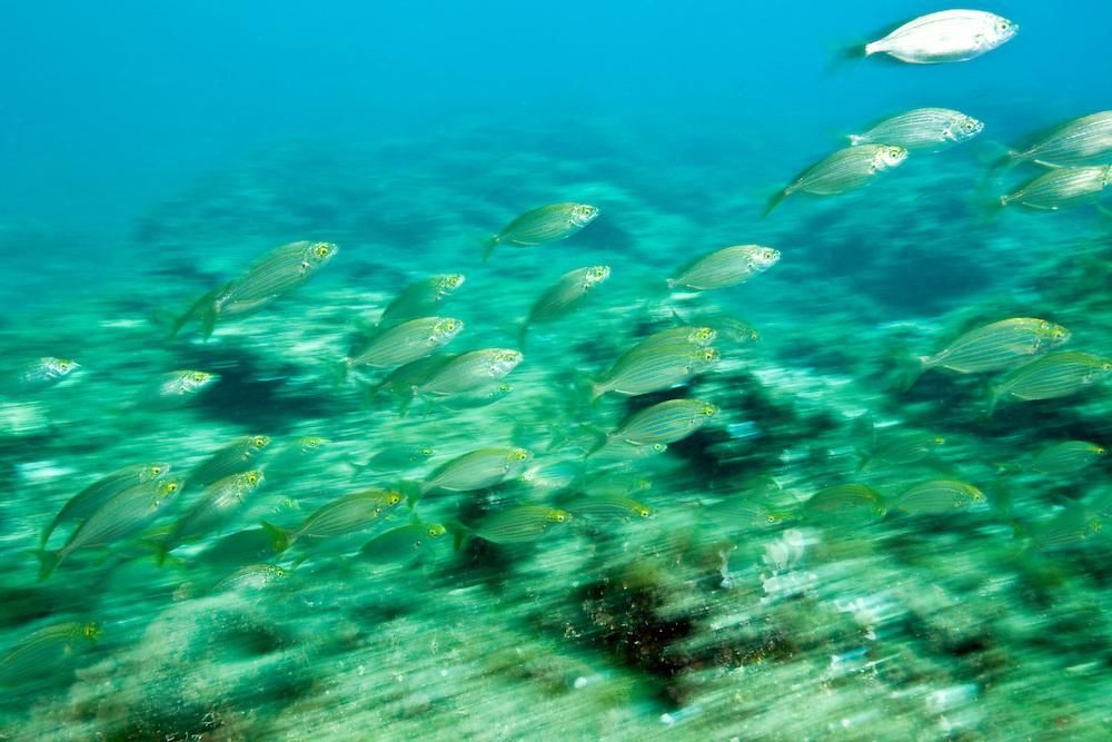 Shoaling cow breams (Sarpa salpa) Larvotto Marine Reserve, Monaco, Mediterranean Sea<br /> Mission: Larvotto marine Reserve