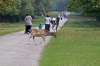 Fallow Deer buck crossing path behind people, Cheshire, England - September