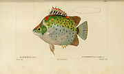 Scatophagus from Histoire naturelle des poissons (Natural History of Fish) is a 22-volume treatment of ichthyology published in 1828-1849 by the French savant Georges Cuvier (1769-1832) and his student and successor Achille Valenciennes (1794-1865).