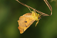 Canary-shouldered Thorn Ennomos alniaria Wingspan 38-42mm. A colourful and distinctive moth that rests with its wings held at an angle. Adult has angular, jagged margins to wings. Wings are brown with dark lines and marbling; head and thorax are fluffy yellow. Flies July-October. Larva feeds on a range of deciduous trees and shrubs. Widespread and common.