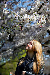 © Licensed to London News Pictures. 07/04/2015. LONDON, UK. Marina Chubarenko looking at white blossom trees in St James's Park in London on Tuesday, 7 April 2015 as temperature hits 17C. Photo credit : Tolga Akmen/LNP