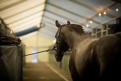 Seymour Tanya, RSA, Ramoneur 6<br /> Jumping Mechelen 2017<br /> © Sharon Vandeput<br /> 28/12/17