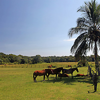 South America, Brazil, Pantanal. Horses find shade in the midday heat of the Pantanal at the Caiman Ecological Reserve.
