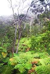 Hawaiian tree fern or hapuu, Cibotium glaucum, and Ohia Lehuna tree, Metrosideros polymorpha, tropical rainforest, Hawaii Volcanoes National Park, Kilauea, Big Island, Hawaii, USA