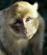 Head shot of a single animal looking intently at the camera