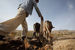 Reza 17 years old ploughs a field using cattle pulling the plough to prepare a field for winter wheat planting. Palaj Village, Shahrestan, Daikundi Province, Afghanistan.