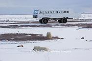 01874-107.04 Polar Bears (Ursus maritimus) near Tundra Buggy, Churchill, MB