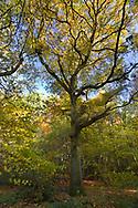 Mature Pedunculate or English Oak - Quercus robur, Stoke Wood, Oxfordshire.