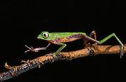 White-lined monkey frog (Phyllomedusa vaillanti)<br /> CAPTIVE<br /> Amazon region<br /> ECUADOR. South America<br /> RANGE: Ecuador<br /> Amazon Basin