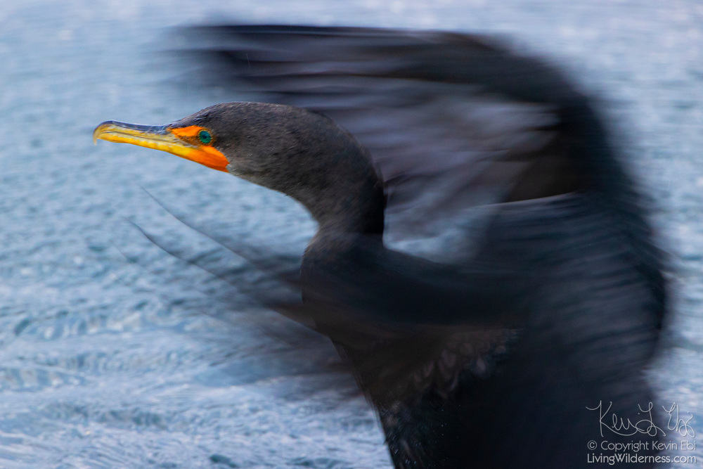 A double-crested cormorant (Phalacrocorax auritus) flaps its wings to dry off after fishing in the water of Puget Sound near Edmonds, Washington.