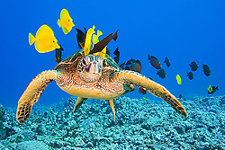 Endangered species, Green Sea Turtle, Chelonia mydas, being cleaned by Gold-ring Surgeonfish, Ctenochaetus strigosus, and Yellow Tang, Zebrasoma flavescens, off Kona Coast, Big Island, Hawaii, Pacific Ocean