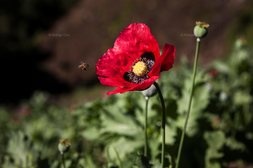 El CALVARIO, MEXICO - AUGUST 5, 2015: Opium poppy flower in a field hidden into a gully in the mountains close to the Chilpancingo city, the capital of the state of Guerrero, Mexico.  Rodrigo Cruz for The New York Times