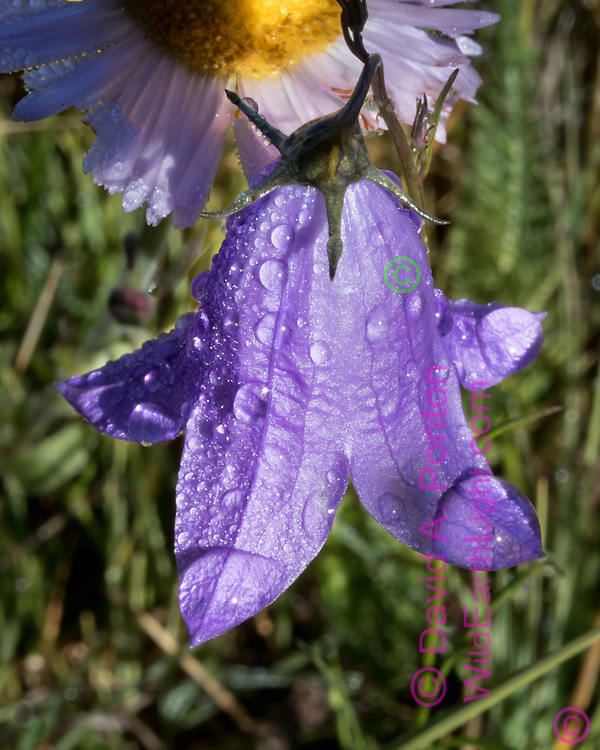 Bluebell and aster with dew in the grassland of the Valle Grande, Valles Caldera National Preserve, © David A. Ponton