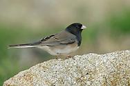 Dark-eyed Junco - Junco hyemalis (Oregon form) - Adult female