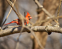 Male Northern Cardinal. Image taken with a Nikon D2xs camera and 80-400 mm VR lens (ISO 200, 400 mm, f/5.6, 1/500 sec).