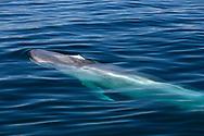 Blue Whale - Balaenoptera musculus