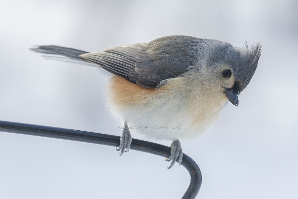 Tufted titmouse looking for a snack