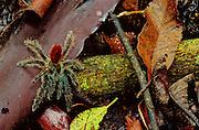 Tarantula (undescribed) - Amazonia, Peru.