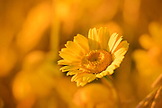 A single flower in a field of yellow flowers during the last minutes of the golden hour.