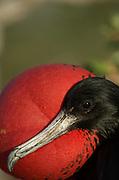 Detail, male, frigate bird, North Seymore Island, Galapagos, Ecuador, South America