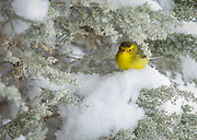 A Wilson's warbler shivers in a rare September snow during its migration, forcing it to seek refuge in sage bushes at La Hacienda de Smith. Many warblers died in the storm.