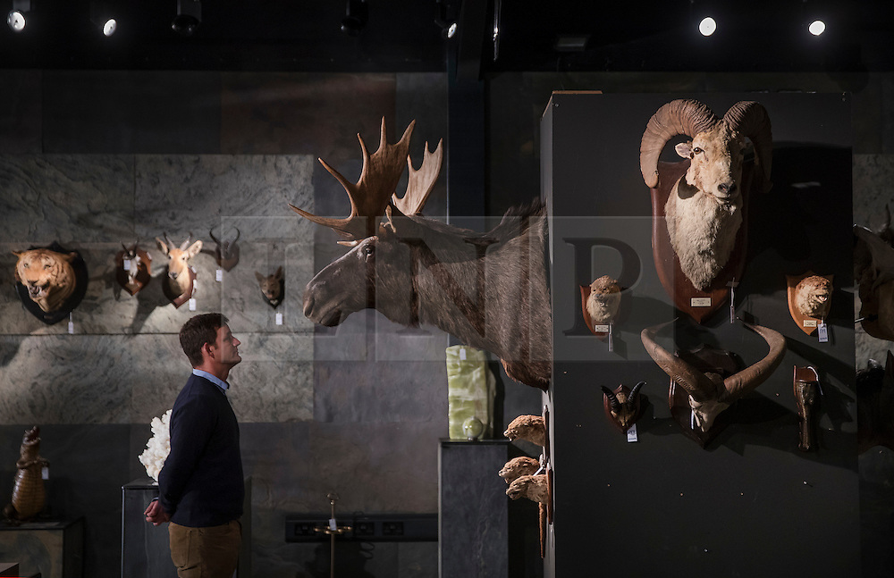 © Licensed to London News Pictures. 17/11/2016. Billingshurst, UK. A 20th century moose shoulder mount is displayed with other animals at Summers Place Auctions ahead of their sale in their 'Evolution' Auction taking place on November 22, 2016 - which will also see a rare dodo skeleton up for sale.   Photo credit: Peter Macdiarmid/LNP
