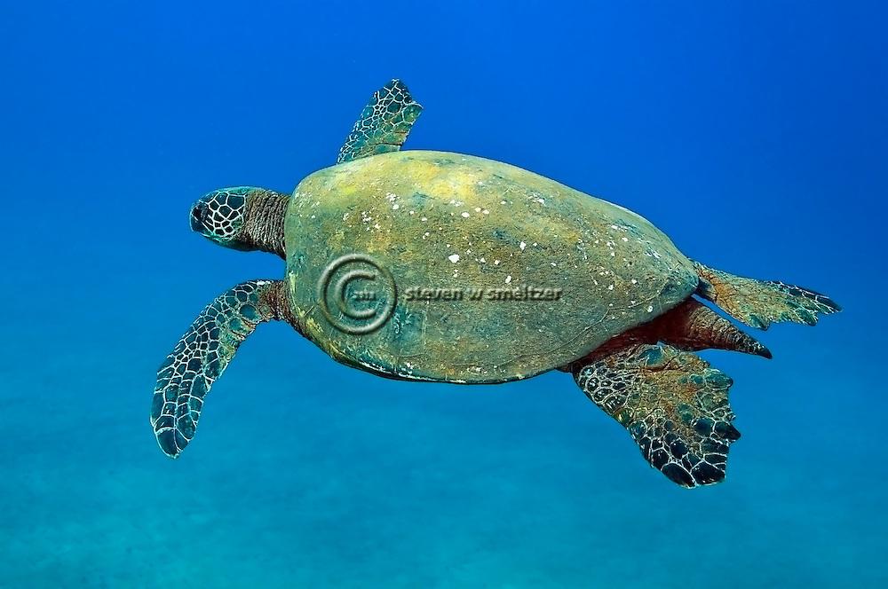 Green Sea Turtle, Chelonia mydas, Linnaeus 1758, off coast of Lanai, Hawaii near Little Cathedrals dive site.