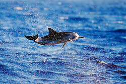 Long-snouted Spinner Dolphin calf, leaping, Stenella longirostris, Kona, Big Island, Hawaii, Pacific Ocean