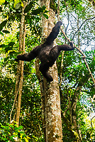 "Chimpanzee climbing down from a tree, Kibale Forest National Park, Uganda. Known as ""The Primate Capital of the World"" Kibale has the largest number of primates of any national park in the world."