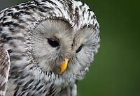 Ural owl (Strix uralensis) close-up portrait, Bergslagen, Sweden. Captive.