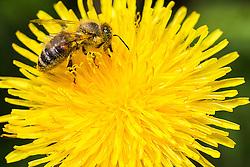 06.04.2016, Osijek, CRO, Frühlingserwachen bei Bienen, im Bild Bienen auf einerm Löwenzahn // Spring and warm weather awakened nature in Slavonia and Baranja, dandelion full of pollen attracted a large number of bees Osijek, Croatia on 2016/04/06. EXPA Pictures © 2016, PhotoCredit: EXPA/ Pixsell/ Davor Javorovic<br /> <br /> *****ATTENTION - for AUT, SLO, SUI, SWE, ITA, FRA only*****
